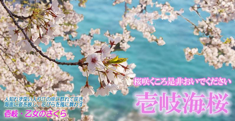 ... の桜遊覧 JF勝本観光事業//海桜
